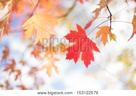 Autumn Background With Silver Maple Orange and Red Leaves on Sky Background