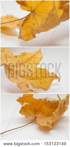 Set of autumn yellow leaves isolated on white background. Selective focus