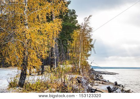 Yellowing Birch And The First Fallen Snow. Siberia, The Coast Of The Ob River