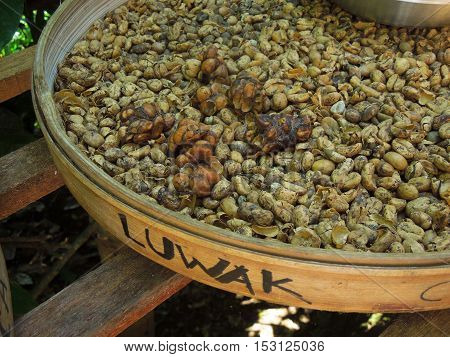 Expensivest coffee in the world. Bali specialty, coffee with the feces of beans of civet cat kopi luwak