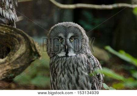 one great grey owl watching at my camera