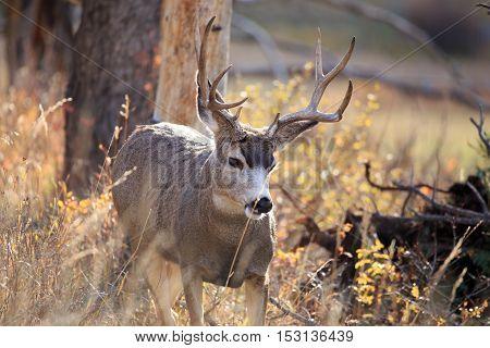Mule deer buck in the wilderness in Montana.