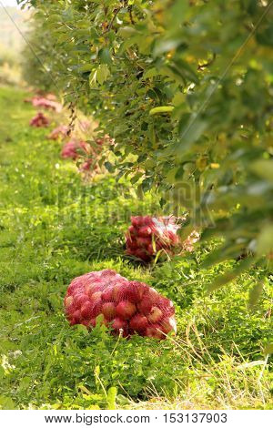 picture of a Ripe apples on the tree.autumn concept