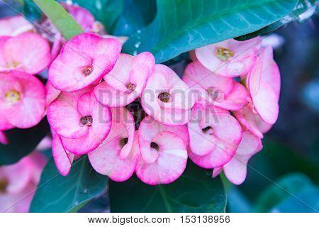 Pink euphorbia milii flowers blooming Christ thorn