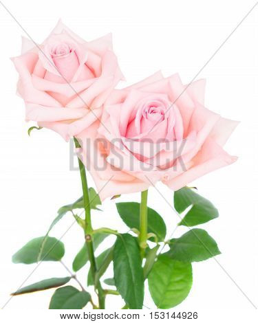 Two pink blooming fresh rose buds with green leaves isolated on white background