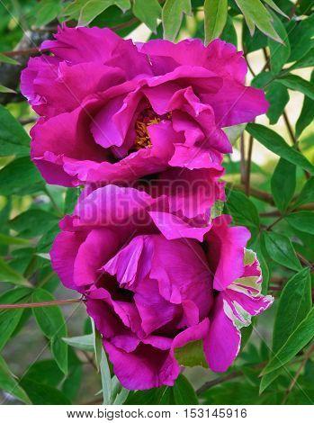 two purple peony flower on a bush closeup