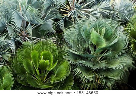 Birds-eye view of fan palm bushes in a green and lush flowerbed.