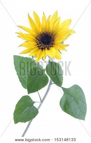 Large Sunflower isolated on a white background.