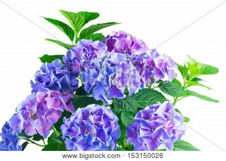 dark blue blue and violet fresh hortensia blooming flowers isolated on white background
