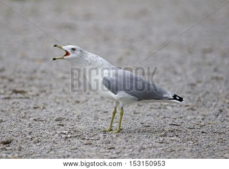 Funny isolated photo of a screaming gull