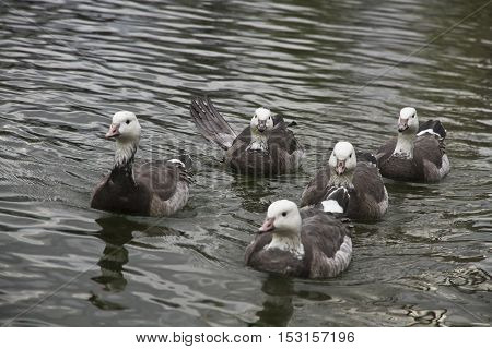 Group of grey ducks swimming in the pond