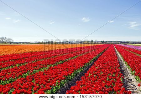 Blossoming tulip field in the countryside from the Netherlands
