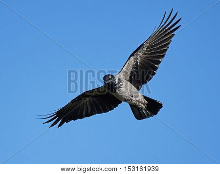 Hooded crow (Corvus cornix) in flight with blue skies in the background