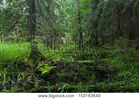Rich riparian mixed stand in morning, Bialowieza Forest, Poland, Europe