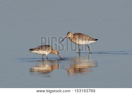 Bar-tailed godwits (Limosa lapponica) looking for food in their natural habitat
