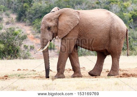 Elephant With A Wet Trunk