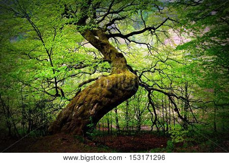A huge tree in the Welsh forest