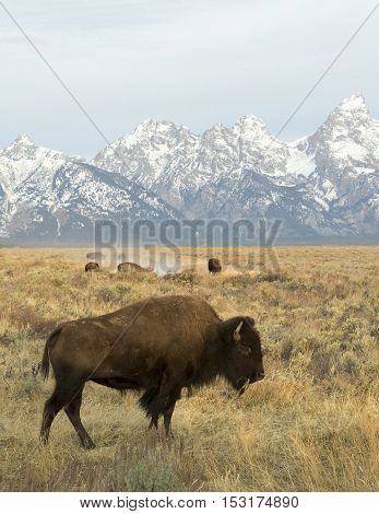 Cow bison in deep grass in from of Tetons with blue sky