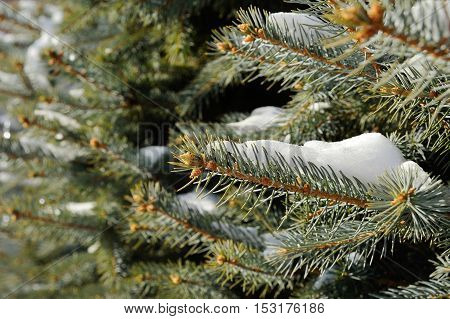 rime on the branches of spruce close-up