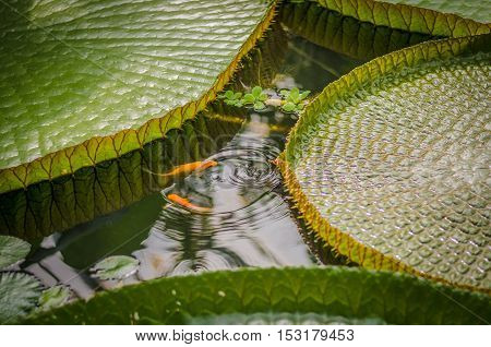 Orange fish playing in water surrounded by giant waterlily leaves