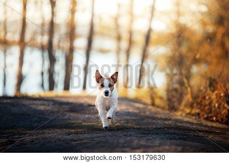 Jack Russell Terrier Runs And Looks Forward