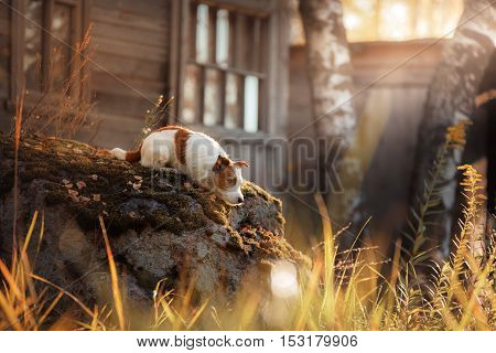 Dog Jack Russell Terrier In The Village Lying On A Stone
