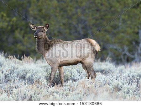 Cow elk during rut in deep sagebrush with green tree