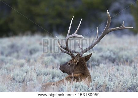 Bull elk rests in the deep sagebrush