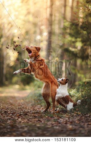 Dog Jack Russell Terrier and dog Nova Scotia Duck Tolling Retriever jump over the leaves autumn mood