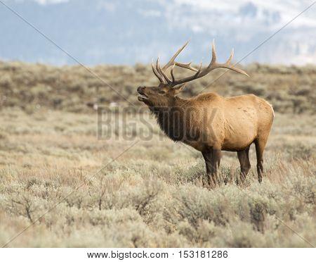 Bull elk bugling during rut in open field