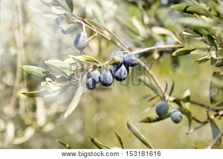 an image of olive tree