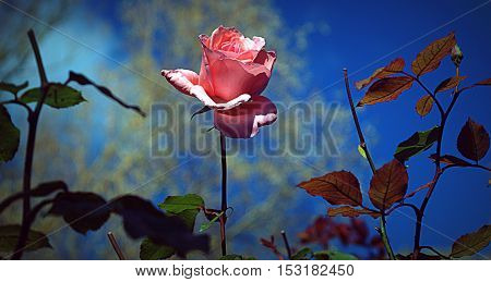 Rose on background a clear sky and trees.
