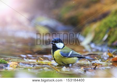 Great tit on the water among fallen leaves with sunny hotspot, birds drink water puddle autumn, fallen leaves, colorful leaves, bird migration