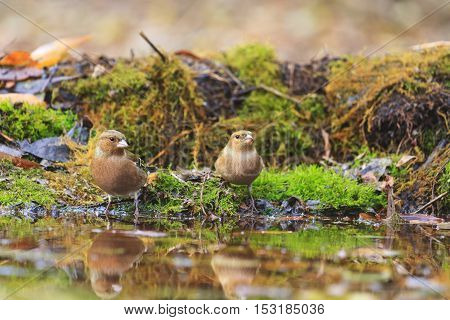 common chaffinchs on watering, birds drink water puddle autumn, fallen leaves, colorful leaves, bird migration