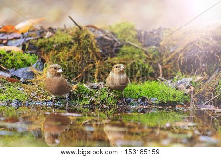 common chaffinchs on watering with sunny hotspot, birds drink water puddle autumn, fallen leaves, colorful leaves, bird migration