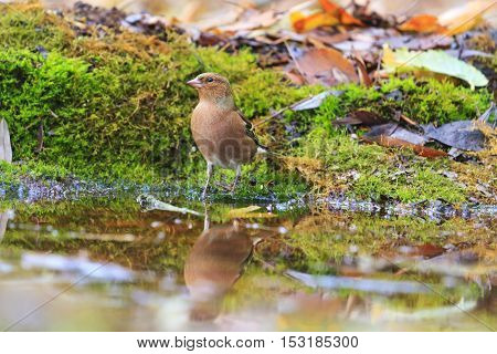 Fringilla coelebs on watering, birds drink water puddle autumn, fallen leaves, colorful leaves, bird migration