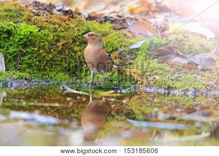 Fringilla coelebs on watering with sunny hotspot, birds drink water puddle autumn, fallen leaves, colorful leaves, bird migration