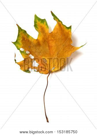 Autumn Dried Multicolor Maple Leaf With Holes
