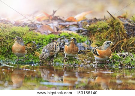 bramblings drink water in autumn puddle with sunny hotspot, birds drink water puddle autumn, fallen leaves, colorful leaves, bird migration