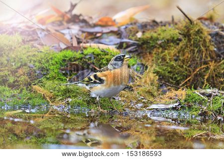adult brambling on autumn puddle with sunny hotspot, birds drink water puddle autumn, fallen leaves, colorful leaves, bird migration