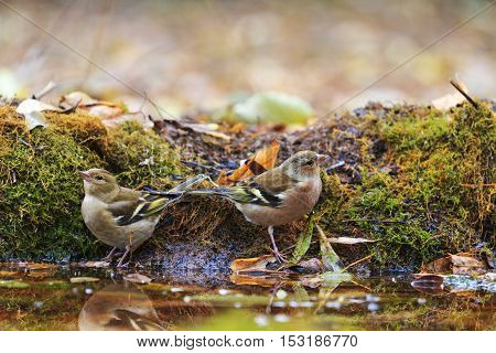 Two common chaffinch on watering, birds drink water puddle autumn, fallen leaves, colorful leaves, bird migration