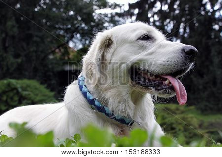 Golden retriever take rest laying in grass