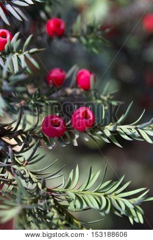 juicy red berries among green needles on a branch of a yew berry