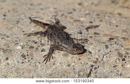 This is a Western Fence Lizard (Sceloporus occidentalis), Lizard from California, United States.
