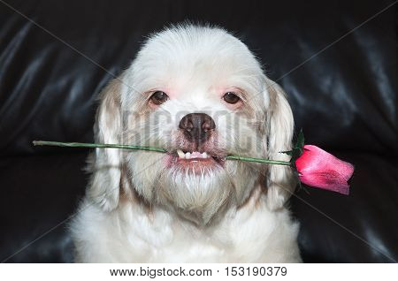 Lhasa apso romantic dog holding a rose in his mouth. Very beautiful, very loving dog. For use in pet shop advertising on Valentine's Day.