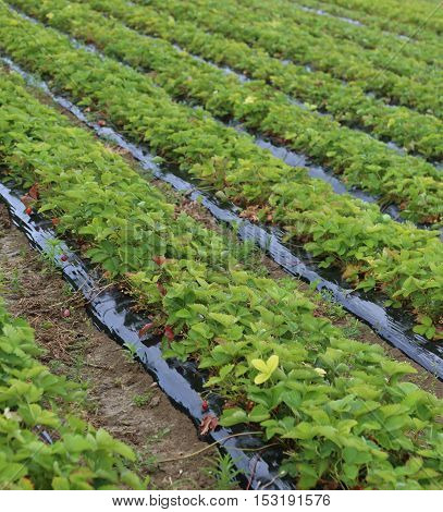 Huge Field Of Red Strawberries On The Plain