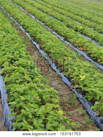 Intensive Cultivation In A Huge Field Of Red Strawberries