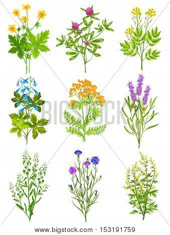 Collection of wild herbs isolated colored decorative elements on white background with tansy chicory sage clover vector illustration