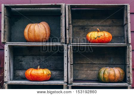 Fresh harvest four farm yellow orange pumpkins with unusual funny curvy shape form on wooden shelf furniture boxes with copy space for text Halloween Thanksgiving concept closeup
