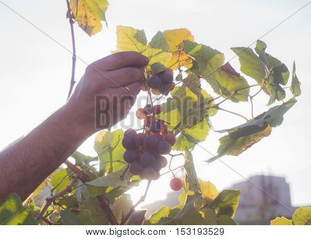 Grape harvesting. Man picking bunches of dark grapes